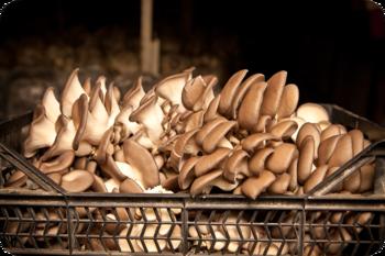 Свежая вешенка от фермерского хозяйства в МО