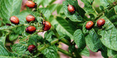 ТВОЙПРОДУКТ: Российские ученые прогнозируют уменьшение количества колорадского жука