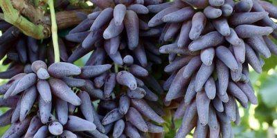 ТВОЙПРОДУКТ: Экзотический виноград почти из сказки