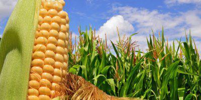 ТВОЙПРОДУКТ: В России планируется увеличить производство кукурузного зерна