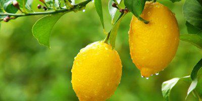 ТВОЙПРОДУКТ: Диковинный лимон