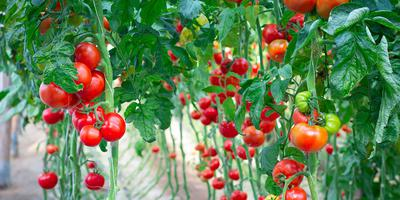 ТВОЙПРОДУКТ: Чудо-помидор с Урала