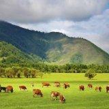 Племенное животноводство - чеченским просторам