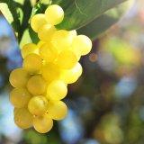 Виноград с кофейных плантаций