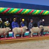 Астраханская область готовится к выставке племенных овец