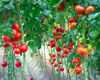 Чудо-помидор с Урала